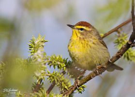 Palm Warbler environmental by DGAnder