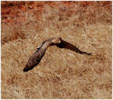 Resident Harrier II by SuicideBySafetyPin