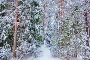 Into the snowy forest by Pajunen