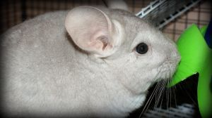 Sooty the chinchilla by Michelle-xD