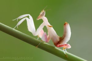 Hymenopus Coronatus by Mantide
