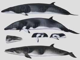CETACEANS 3 - Minke whales by namu-the-orca
