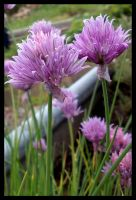 Chives in Bloom by Leichenengel