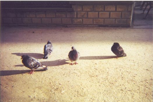 Parisian Pigeons by hahasound