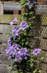 Clematis 'Light Blue' by Kitteh-Pawz