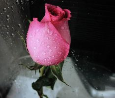 moist rose colour by katigerclaw