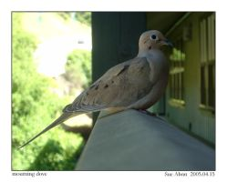 Mourning dove by sahnn