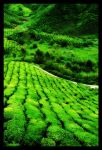 Tea Plantation by orangebolster