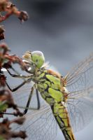 Dragonfly 6 by jochniew