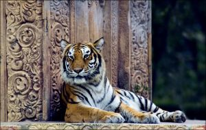 Miami Bengal Tiger by hoboinaschoolbus