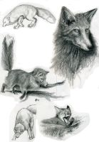 Foxes by lennan