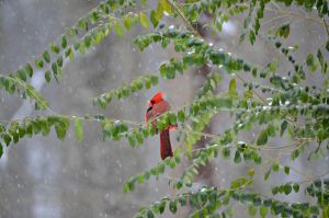 Cardinal in the Snow by jennalynnrichards