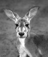 a kangaroo portrait by Yair-Leibovich
