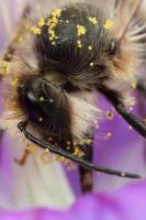Feeding Miner Bee 2 by Alliec