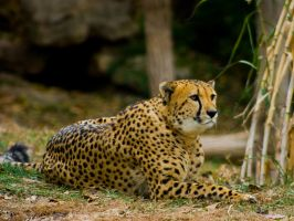 cheetah262 by redbeard31