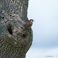 House sparrow square by Mogrianne