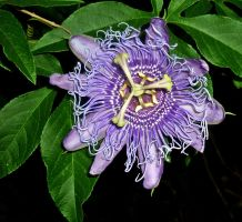 Passion Flower by Katt-lynn