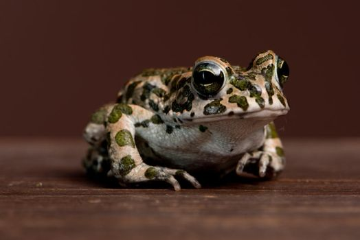 green toad by szorny-stock
