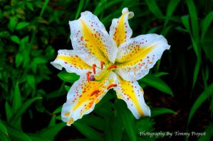 Freckeled Lily 0166 by agapelight