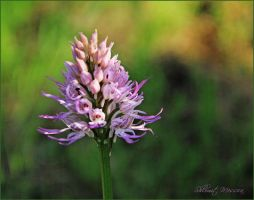 Wild orchid by ShlomitMessica