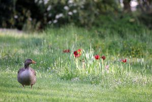 Goose in Flowery Park-2 by Rea-the-squirrel
