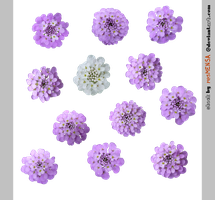 PACK candytuft - STOCK by resMENSA