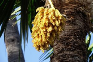 Palm flowers - Maui by wildplaces