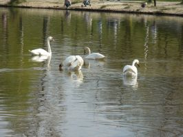 Swans by 4n1a