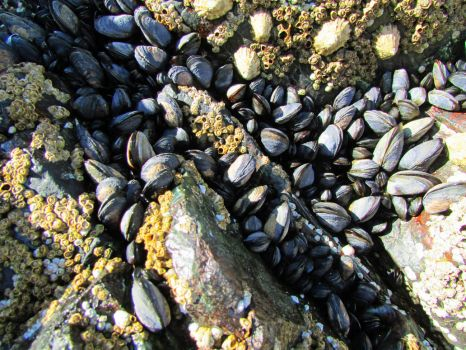Mussels by charlottetwidale