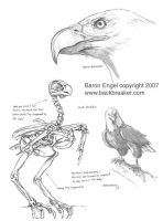 Bald Eagle study 01 by Baron-Engel