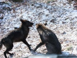 Black Wolves Fight Stock 2 by AngelSTOCK22