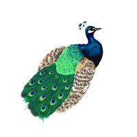 Peacock by Ryan-Rhodes