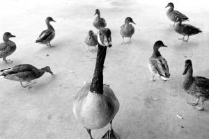 Duck Duck Goose by Cynosura