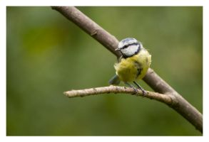 Bluetit by Neutron2K