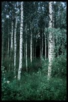 BG Birch Grove I by Eirian-stock