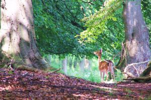 Deer In The Glade 3 by Avahlon-Stock