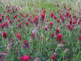 Red Clover III by Neriah-stock