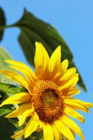 3 Day Old Sunflower by Joe-Lynn-Design