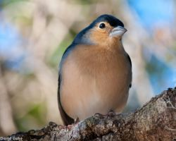 Chaffinch by dliche