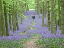 Bluebell wood by angelic-cat15