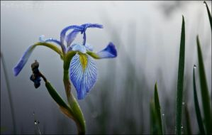 Blue Flag Iris by Sarah--Lynne