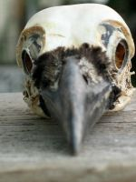 Stock Crow Skull Foreshortened by coyotlprole