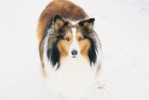 fluffy sheltie by ragzx0fxlace - photo #1