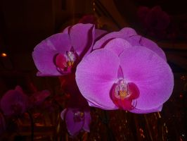 Orchidee 4 by hiram67