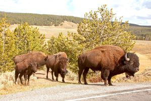 Yellowstone Bison Family by Kippenwolf