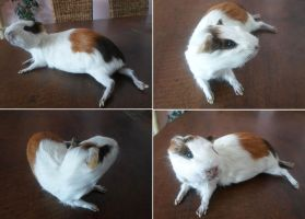 Guinea Pig Lifesize Mount by DeerfishTaxidermy