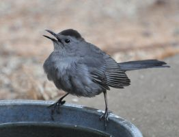 Young Catbird? by Tailgun2009
