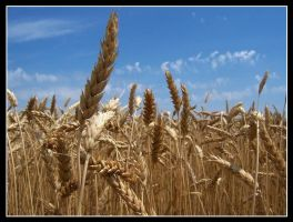 Wheat 3 by cthacker
