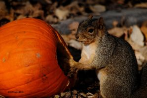 Squirrel and Pumpkin 0094 11-3-15 by eyepilot13
