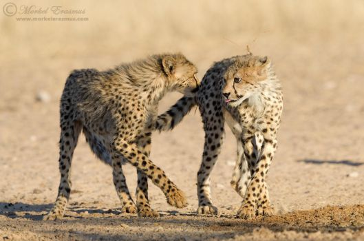Cubs at Play by MorkelErasmus